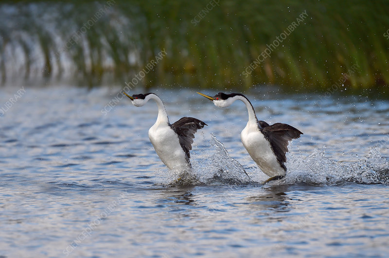 Western grebe courtship display