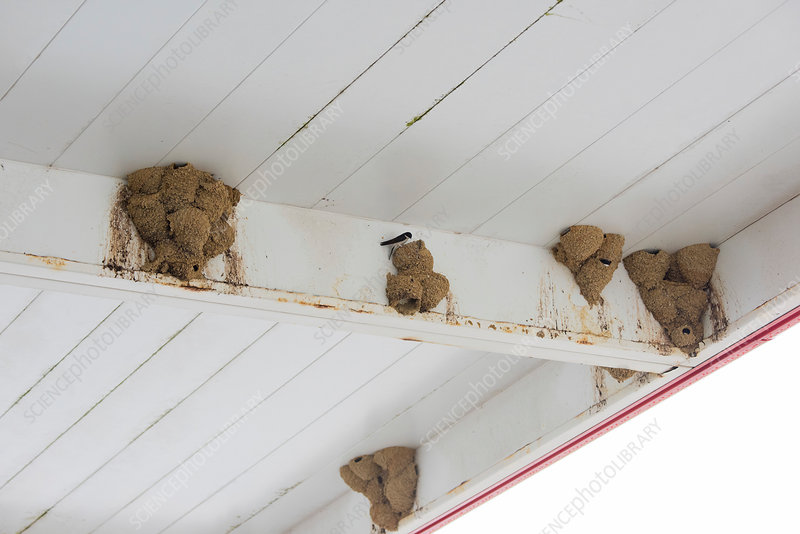 Common house martin nests