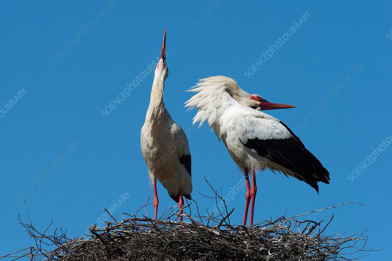 White stork courtship display