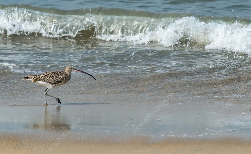 Eurasian curlew on a beach