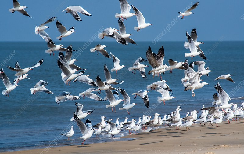 Brown-headed gulls on a beach