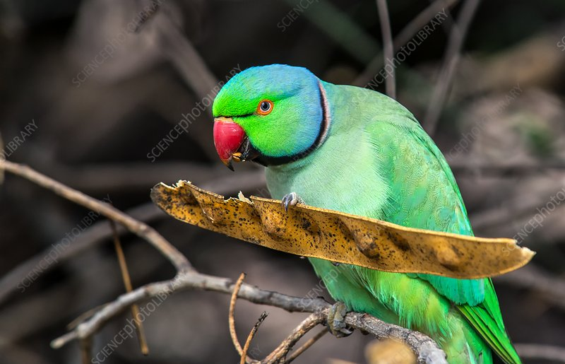 Ring-necked parakeet feeding in a tree