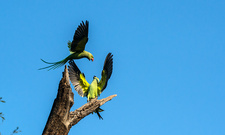 Ring-necked parakeets displaying