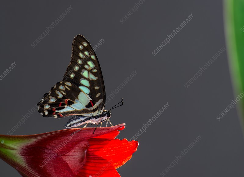 Common jay butterfly on flower