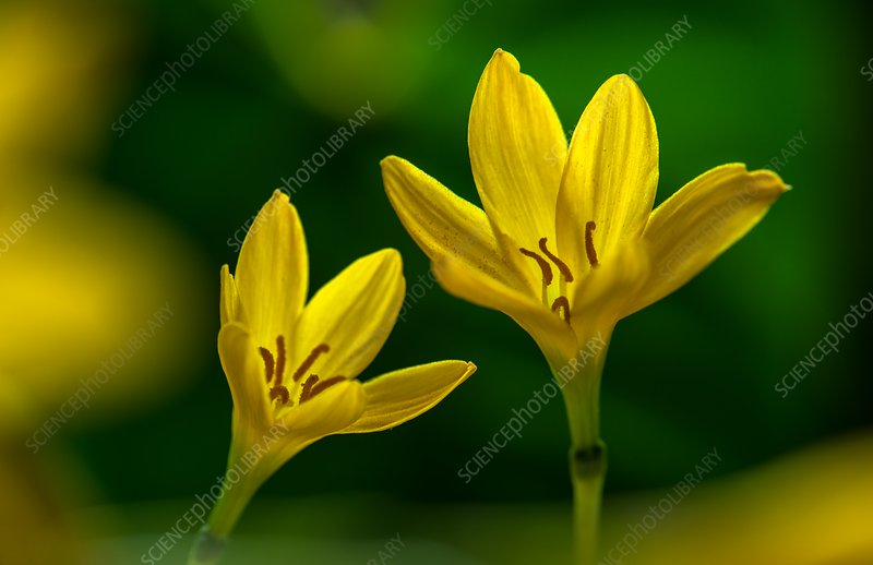 Rain lily (Zephyranthes citrina) flowers