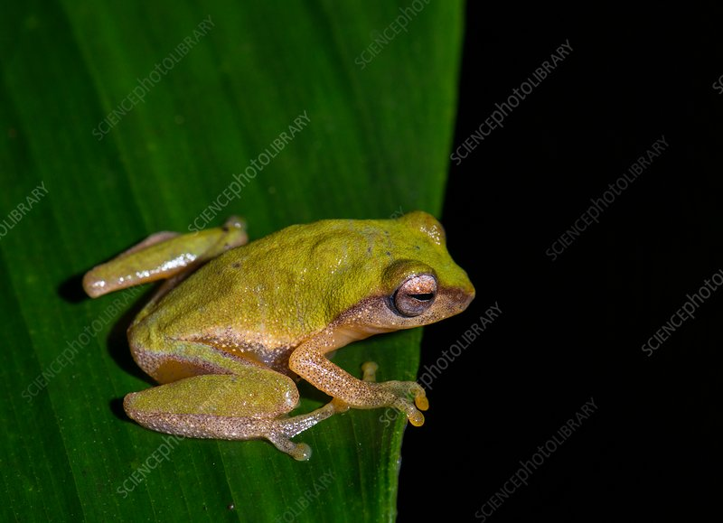 Variable bush frog