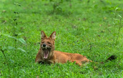 Indian wild dog yawning