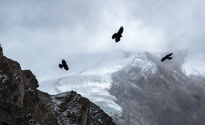 Alpine choughs and Gorner glacier, Switzerland