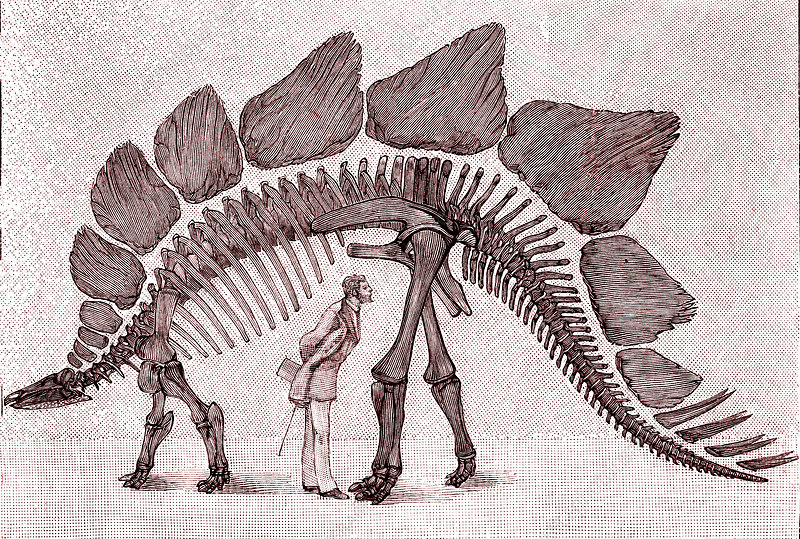 Stegosaurus dinosaur, 19th C illustration