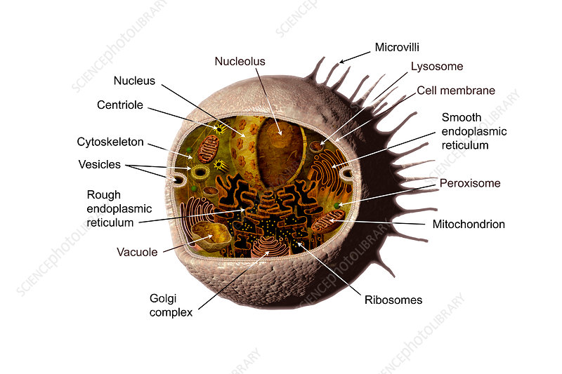 Animal cell, illustration
