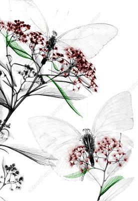 Butterflies on Spiraea flowers, X-ray
