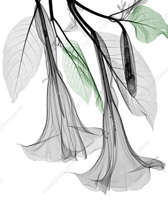 Datura flowers, X-ray