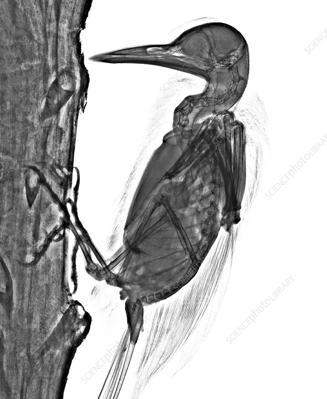 Woodpecker, X-ray