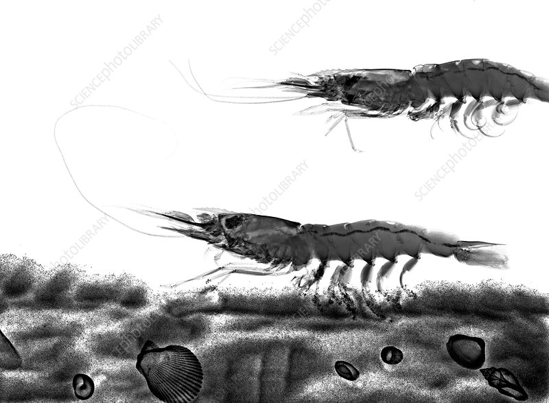Shrimps, X-ray