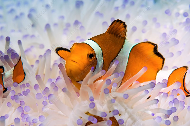 Clown anemonefish in bleached anemone