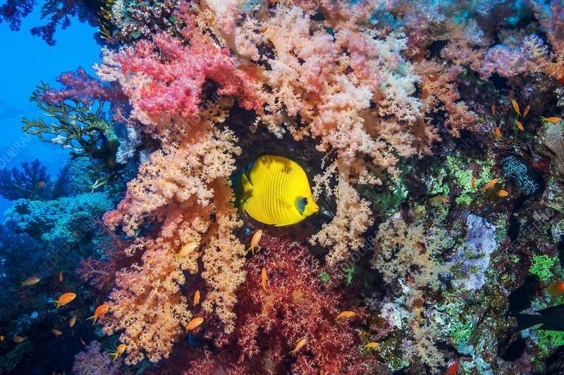 Masked butterflyfish with soft corals
