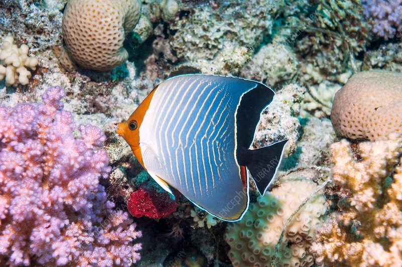 Hooded butterflyfish