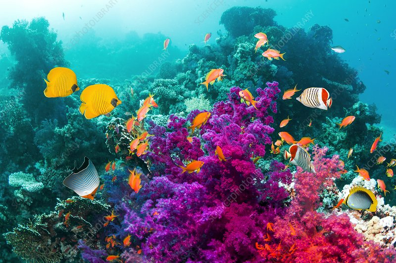 Butterfly fish and soft corals