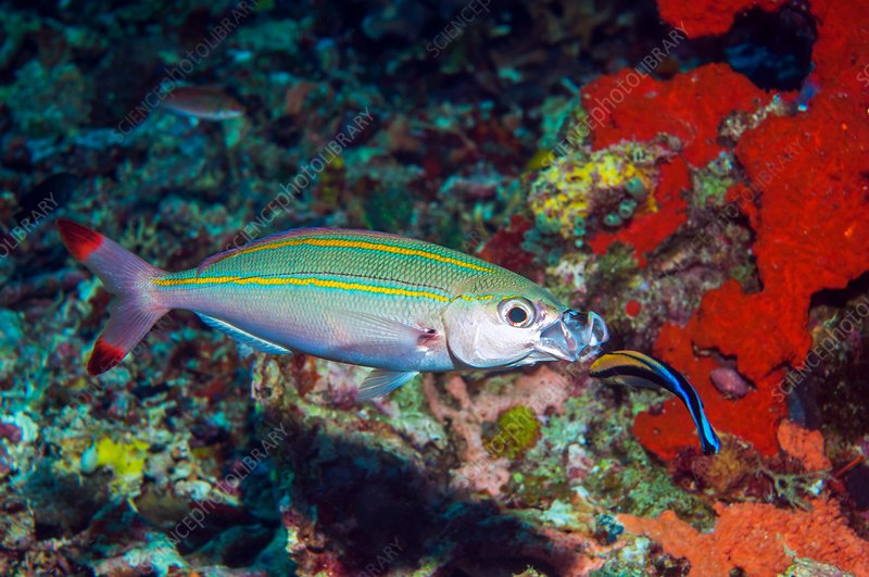 Double-lined fusilier with cleaner wrasse