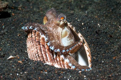 Coconut octopus sheltering in a shell