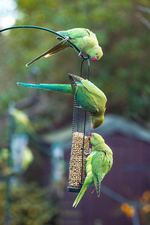 Ring-necked parakeets on a bird feeder, UK