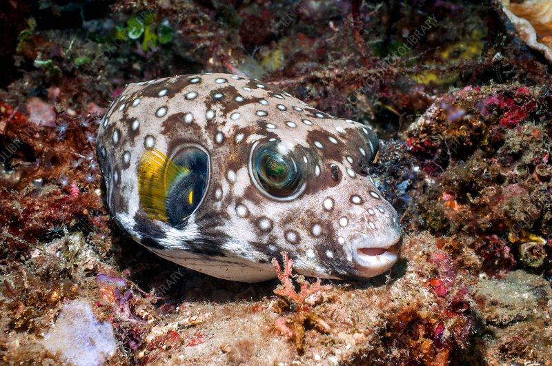 White-spotted pufferfish