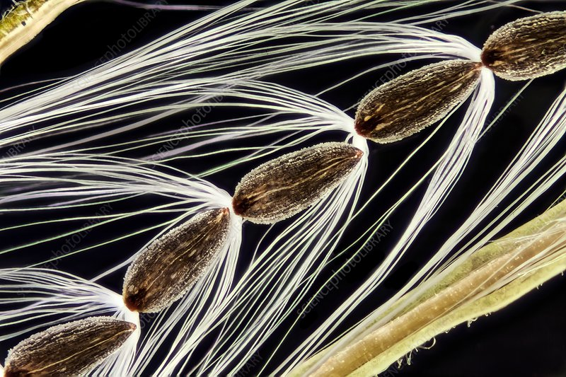 Rosebay willowherb seeds, LM