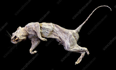 Dessicated rat's body