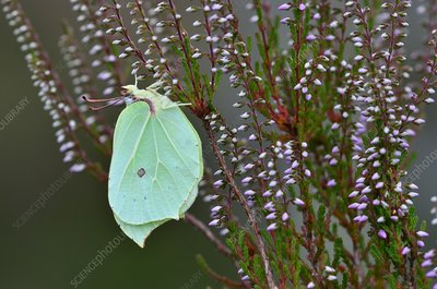 Brimstone butterfly, female, on ling heather