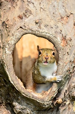 Grey squirrel in a hollow tree