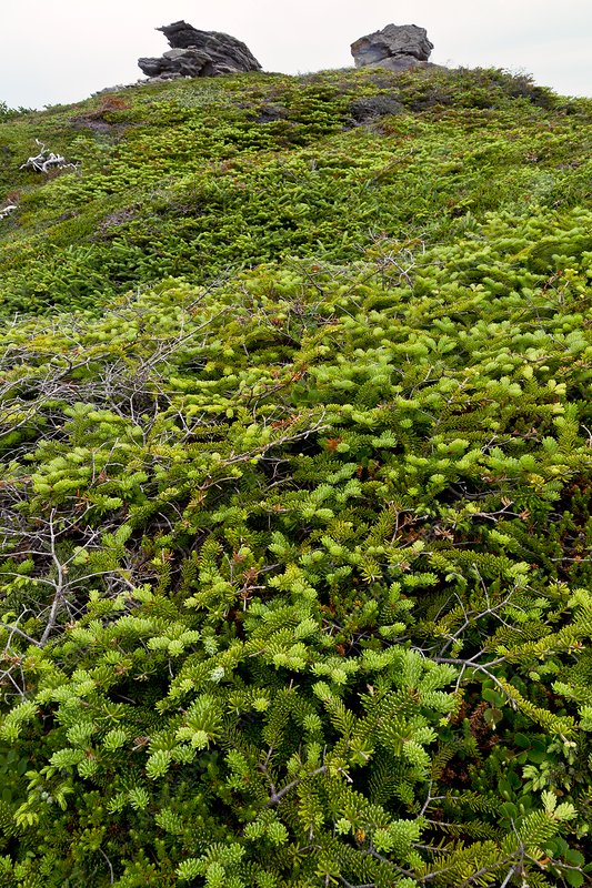Dwarf coastal coniferous vegetation