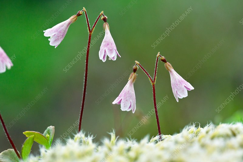 Twinflower (Linnaea borealis) in flower
