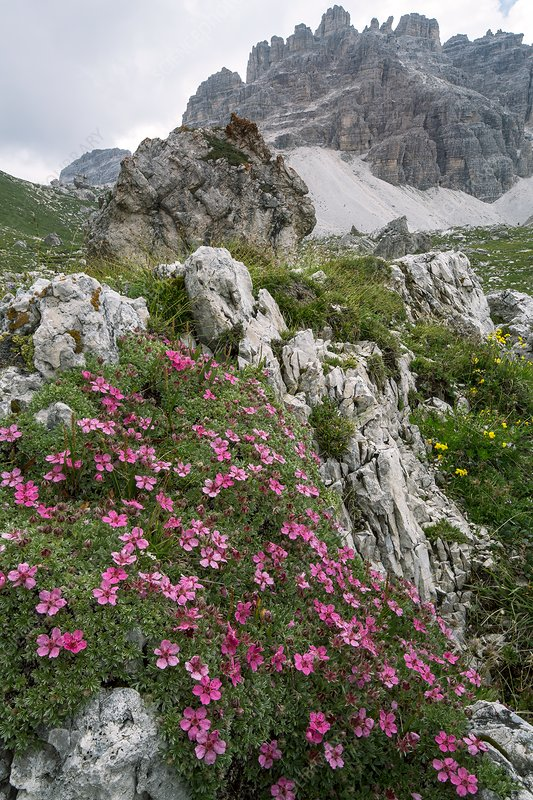 Cinquefoil (Potentilla nitida) in flower on mountainside