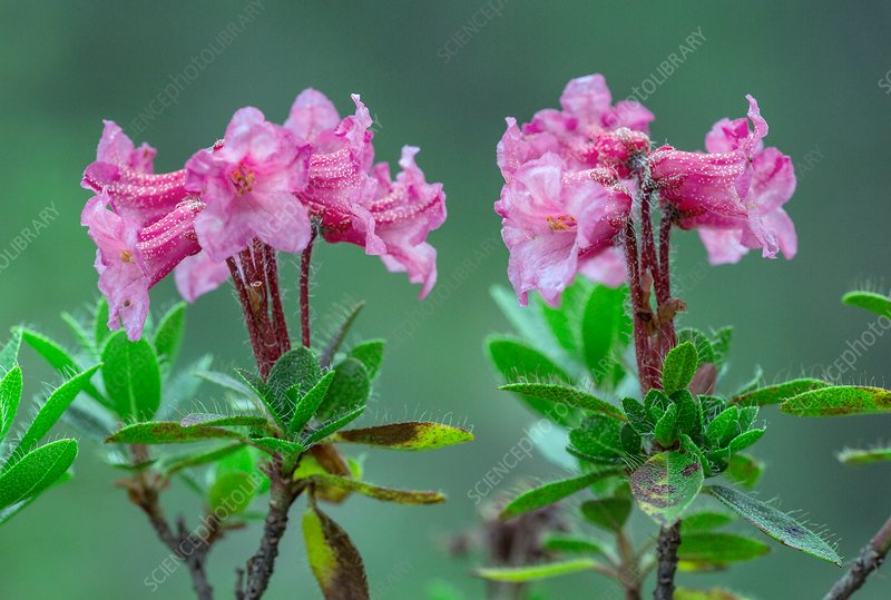 Hairy alpenrose (Rhododendron hirsutum) in flower