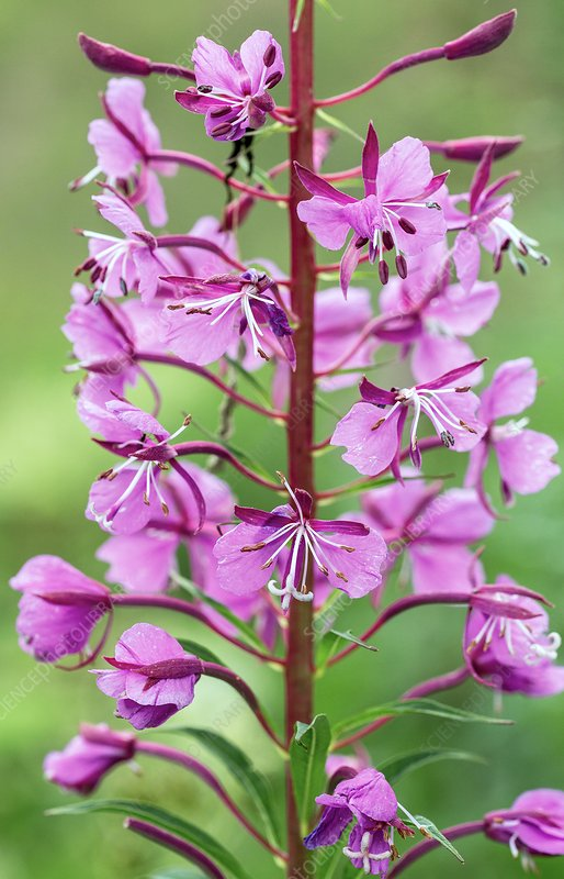 Fireweed (Chamerion angustifolium) in flower