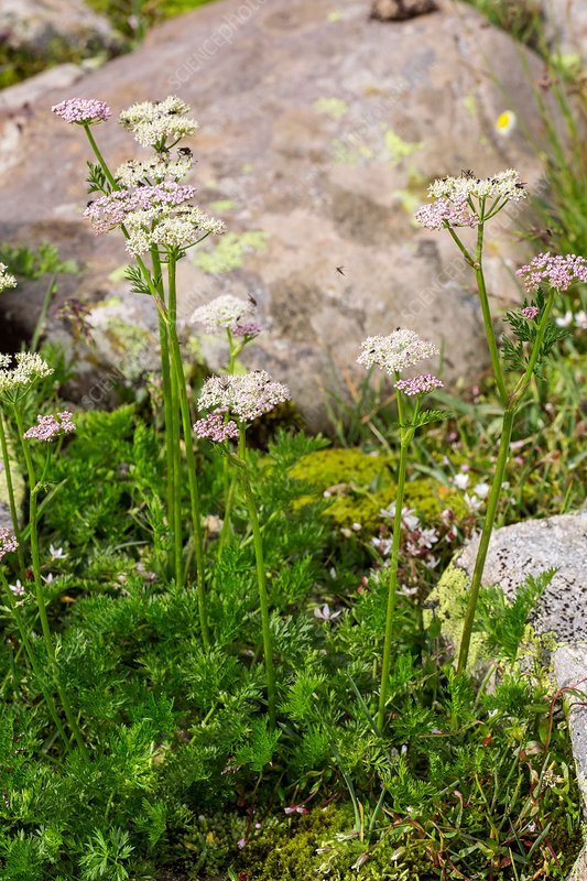 Alpine lovage (Ligusticum mutellina) in flower