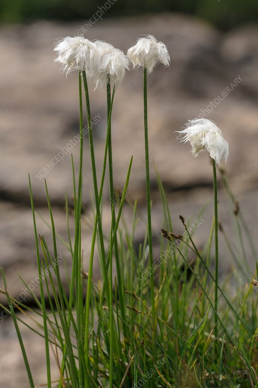 Scheuchzer's cottongrass (Eriophorum scheuchzeri) in flower