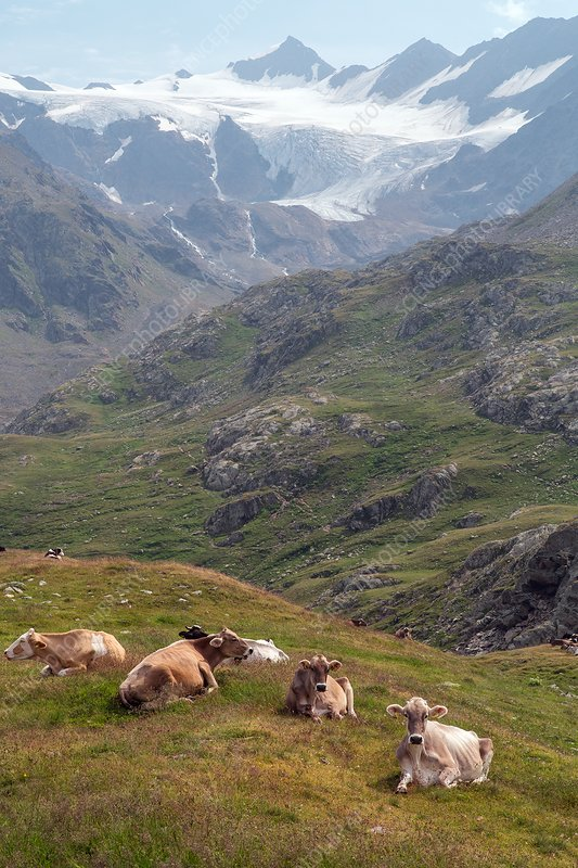 Cattle grazing on the Gavia Pass, Italy