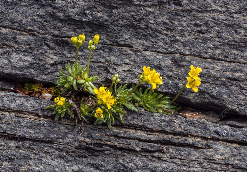 Yellow whitlow-grass (Draba aizoides) in flower
