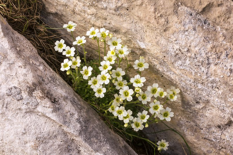 Mossy saxifrage (Saxifraga muscoides) in flower