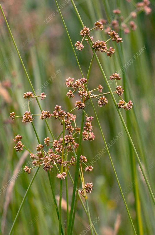 Blunt-flowered rush (Juncus subnodulosus) in flower