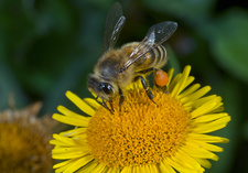 Honey bee feeding on fleabane flower