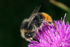 Red-tailed bumble-bee feeding on knapweed (Centaurea nigra)