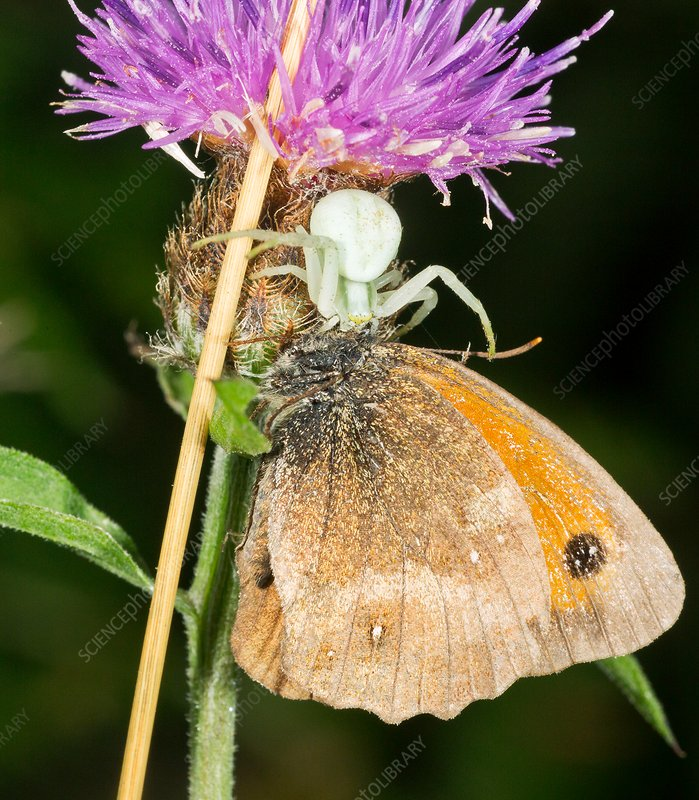 Crab-spider preying on gatekeeper butterfly