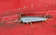 Silverfish in domestic kitchen