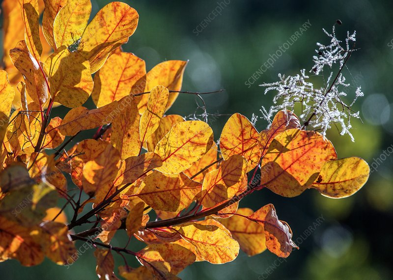 Smoke bush (Cotinus coggygria) in autumn colour