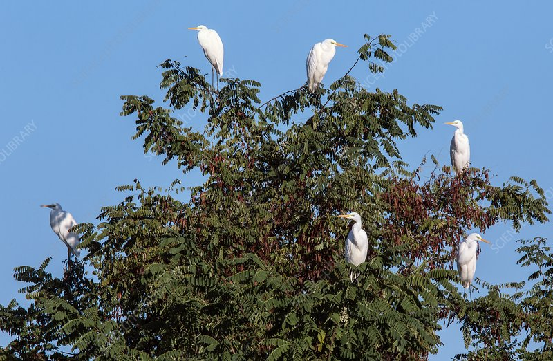 Great white egrets in a tree
