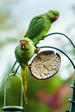 Ring-necked parakeets on a bird feeder