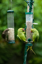 Ring-necked parakeets and starling on bird feeders
