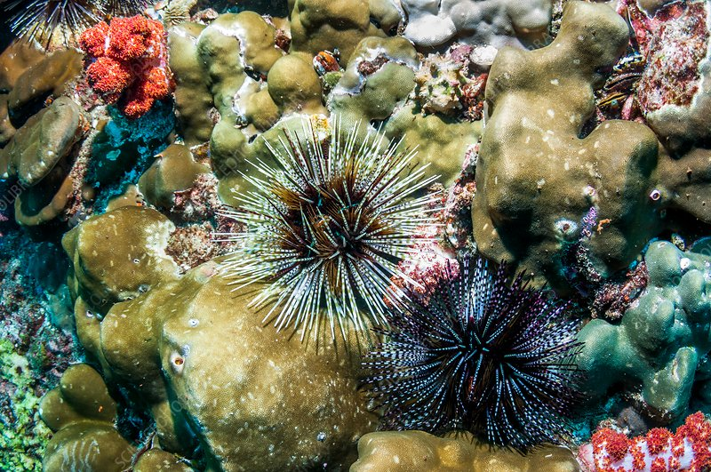 Banded sea urchins